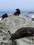 Seal Rock Royalty Free Stock Image