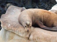 Seal on a Rock Stock Photos