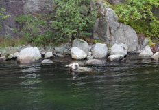 Seal on the rocks. Lysefjord. Norway. Stock Photo