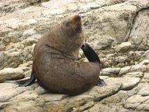 Seal on rocks Stock Photos