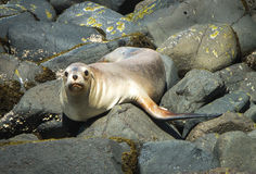 Seal on rocks Stock Images