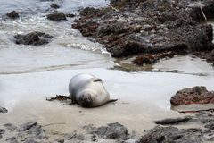 Seal on a rocky beach Stock Image