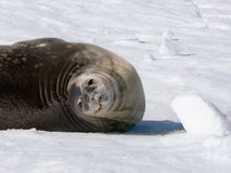 Seal roll Stock Photo