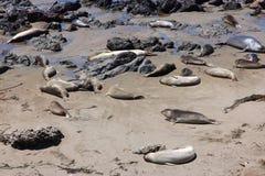 Seal rookery Stock Photos