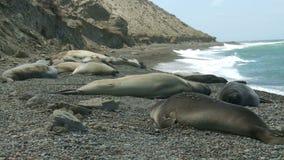 Seal rookery on the coastline of Atlantic Ocean stock video footage