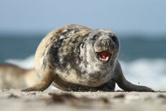 Seal running Royalty Free Stock Image
