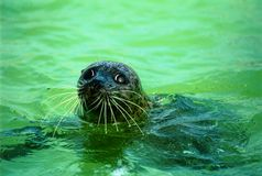 Seal sad look. Sad look of a seal in a zoo swimming pool royalty free stock photo