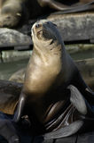 Seal in San Francisco. A seal in San Francisco royalty free stock photo
