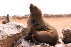 Seal scratching. Itself on a rock, Cape Cross colony, Namibia Royalty Free Stock Images