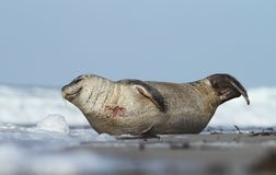 Seal by the sea Stock Image