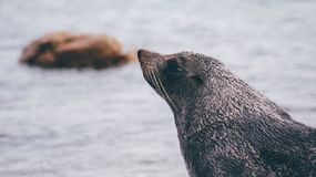 Seal at sea Royalty Free Stock Image