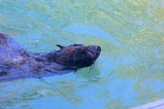 Seal or Sea lion Stock Photos