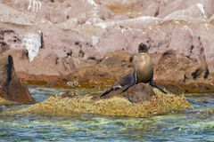 Seal sea lion restying on the rocks Royalty Free Stock Images