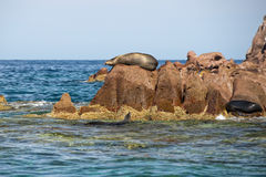 Seal sea lion restying on the rocks Stock Photography