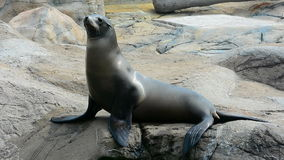 Seal or sea lion on the rock Royalty Free Stock Photo