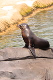 Seal or sea lion on the rock Royalty Free Stock Images