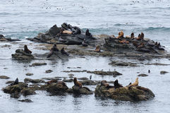 Seal and sea lions stock photography