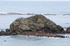 Seal and sea lions on rock royalty free stock photography