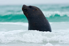 Seal in the sea waves. Seal from Falkland islands with open muzzle and big dark eyes, dark blue sea in background. stock photo