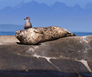 Seal and Seagull. Harbor Seal hanging out with its Seagull buddy Royalty Free Stock Photo