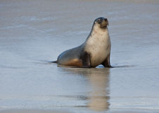 Seal at Seal Bay Kangaroo Island Australia Stock Images