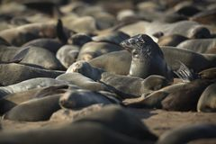 Seal in a seal colony at Cape Cross, Namibia. Close up. Drying off stock image