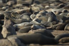 Seal in a seal colony, Namibia. Close up. Seal in a seal colony at Cape Cross, Namibia. Close up stock photography