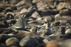 Seal in a seal colony, Namibia. Close up stock photo