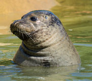 Seal in seal sanctuary. Head shot of rescued seal at seal sanctuary,Mablethorpe,Lincolnshire Royalty Free Stock Image