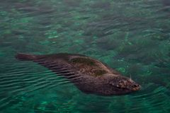 Seal. Swimming in a zoo pool from Spain stock photography