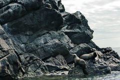 Seal. S lying on the rocks by the sea Royalty Free Stock Photography