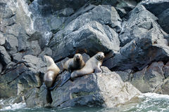 Seal. S lying on the rocks by the sea Royalty Free Stock Photo