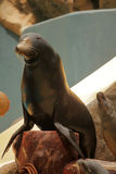 Seal on show Stock Image
