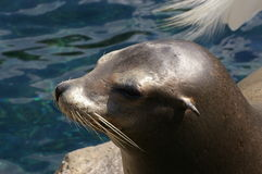 Seal side shot Stock Image
