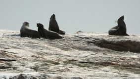Seal silhouette on the rock Stock Photography