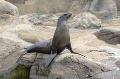 The Seal sits on a rock. Stock Photos
