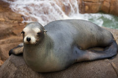 Seal Sits on Rock. A seal sits on the rock while water falls behind Royalty Free Stock Image