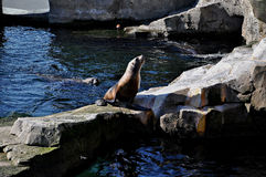 Seal sits on rocks by the pool. Stock Photography