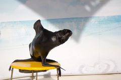 Seal is sitting Royalty Free Stock Image