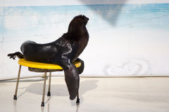 Seal is sitting Royalty Free Stock Photography