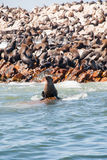 Seal sitting on a rock near Seal Island, Gansbaai Royalty Free Stock Images