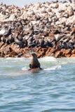 Seal sitting on a rock near Seal Island, Gansbaai Royalty Free Stock Images