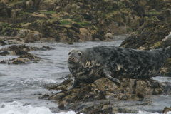 Seal sitting in a rock Royalty Free Stock Image