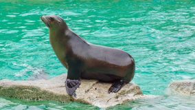 Seal sitting on rock at sea water stock image