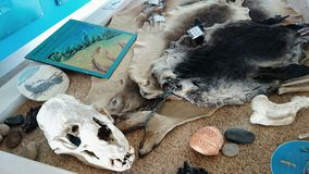 Seal Skull and Fur @ Kangaroo Island Stock Photography