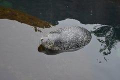Seal sleeping Royalty Free Stock Photography