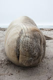 Seal Sleeping on the Beach Royalty Free Stock Photo