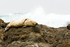 Seal Sleeping on the California Coast Stock Images
