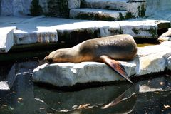 Seal sleeping Stock Photography