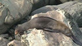 Seal sleeping in  New-Zealand stock video